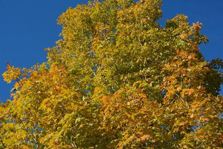 Autumn color on maple tree foliage and clear blue sky. Banco de Imagens