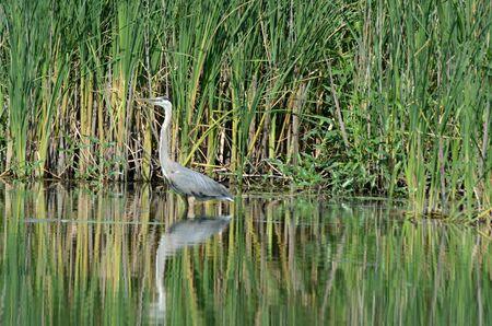 Great blue heron wading thru tranquil pond habitat.