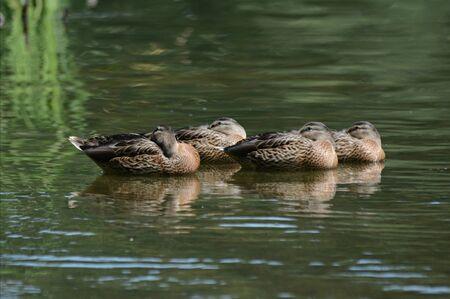 Hen mallards resting on surface of freshwater lake. Banco de Imagens