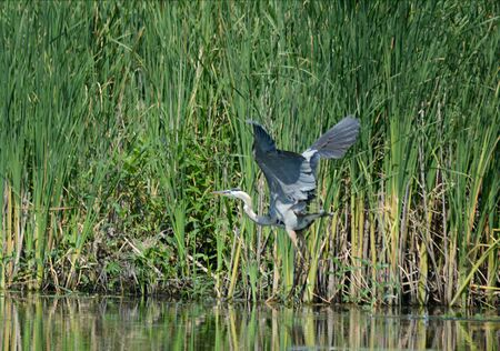 Great blue heron lifting off surface of a tranquil pond.