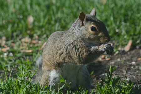 Sunny closeup of alert gray squirrel feeding on seeds. Banco de Imagens