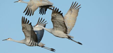 Flock of 3 sandhill cranes flying in a tight formation.