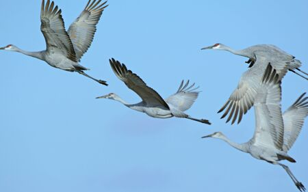 Flock of four sandhill cranes flying in a close formation.