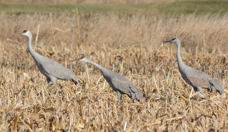 Autumn vista on three sandhill cranes in a grain field.