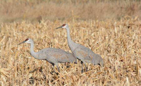 Autumn vista on two sandhill cranes in a grain field.