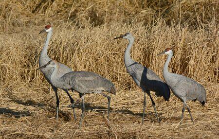 Sunny view of four sandhill cranes walking thru a field.