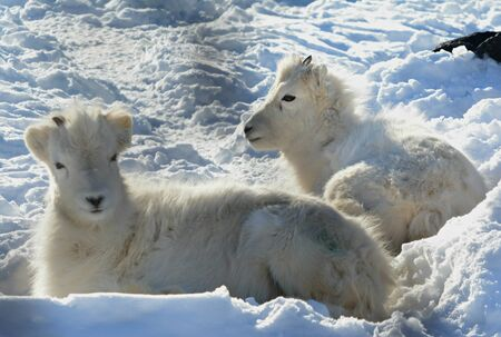 Dall sheep lambs resting on a thick blanket of snow.