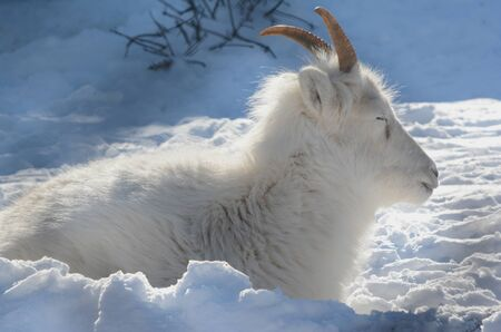 Dall sheep ewe napping in a winter blanket of snow.
