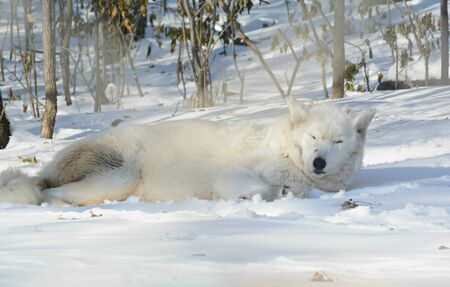 A white arctic wolf napping atop snow covered ground.