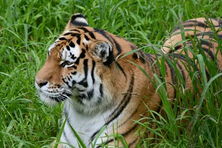 Summer view of  a Siberian tiger resting in a meadow. Banco de Imagens