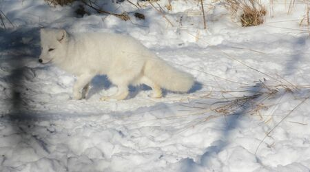 Winter view on a white arctic fox walking across snow.