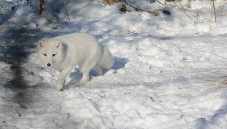 Alert arctic fox walking across a snowy winter habitat.