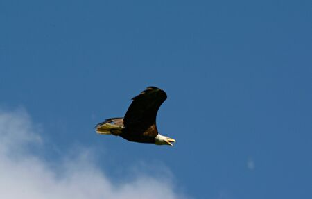 Adult bald eagle flying across bright partly cloudy sky.