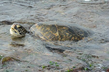 Green sea turtle swimming in surf off Oahu Island, HI.
