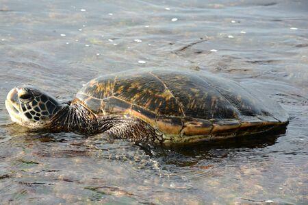 Sea turtle resting in inter-tidal zone - Oahu Island, HI.