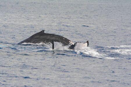 Humpback whales diving and surfacing in Mamala Bay.