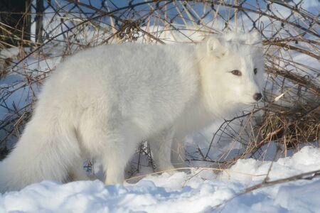 Arctic fox exploring snow covered winter environment.