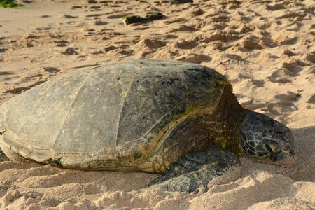 Pacific green sea turtle relaxing on a sandy beach.