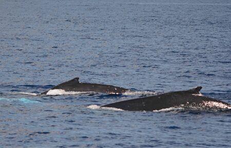 Humpback whales surfacing off coast of Oahu Island. Banco de Imagens