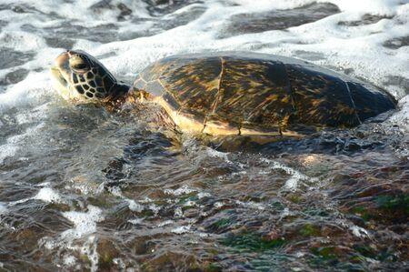 Sea turtle swimming in roiling surf off Oahu Island, HI.