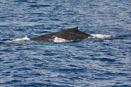 Pacific humpback whale surfaced off Oahu Island, HI.