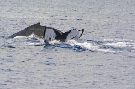 Humpback whales surfacing and diving in Mamala Bay.