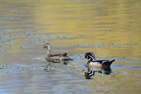 Wood duck pair swimming in a tranquil lake habitat.