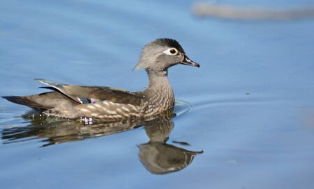 Wood duck hen swimming thru a tranquil lake habitat.