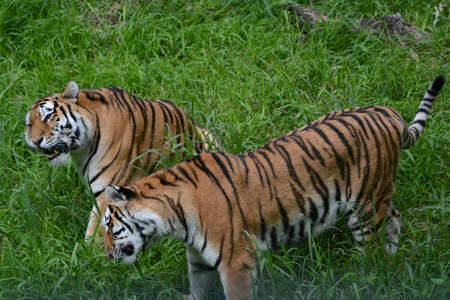 Summer closeup on two Siberian tiger siblings exploring a grassy meadow at the Minnesota Zoo. Standard-Bild