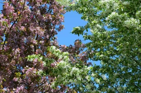 Skyward vista on pink and white flowering crab apple blossoms, at  Central Park Arboretum in city of Roseville, Minnesota. Standard-Bild