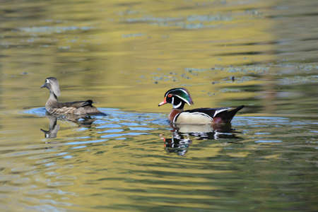 Scenic spring capture of a wood duck pair swimming across a placid freshwater lake.