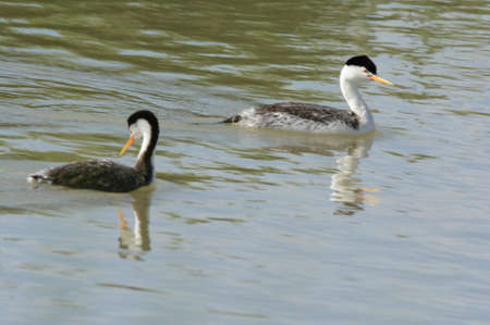 Sunny spring closeup on pair of Clark's grebes swimming a placid river channel, at the Bear River Migratory Bird Refuge in northern Utah.
