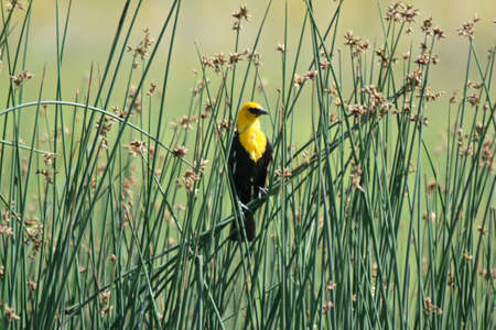 Spring capture of a North American yellow-headed blackbird, perching within a dense stand of bull rushes habitat. Standard-Bild