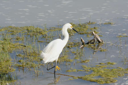 Spring capture of a North American snowy egret standing in a wetland habitat, at the Bear River Migratory Bird Refuge in northern Utah.