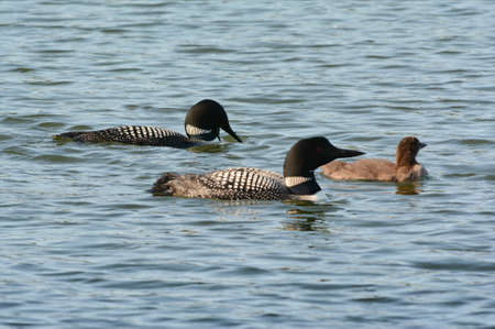 Summer closeup of a family of common loons, swimming close together in a freshwater lake habitat. Standard-Bild