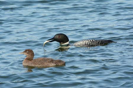 Engaging closeup on a common loon parent catching fish for its chick in a freshwater lake.