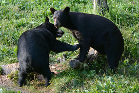 Summer capture of a pair of young black bears interacting in a grassy meadow environment.