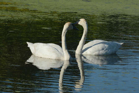 Summer capture of a pair of North American trumpeter swans, resting close together on a placid pond.
