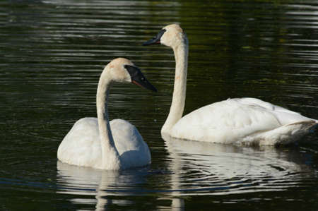 Bright summer closeup on a pair of North American trumpeter swans, swimming close together in a placid pond habitat.