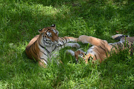 Engaging summer capture of a pair of Siberian tigers, relaxing together in a shaded green meadow habitat. Standard-Bild