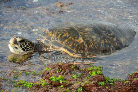 Seasonal closeup of a pacific green sea turtle resting in the inter-tidal zone off Waimea Beach, north shore of Oahu Island, Hawaii. Standard-Bild