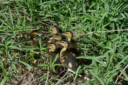 Bright spring closeup on a brood of mallard ducklings assembled in a patch of green grass habitat.