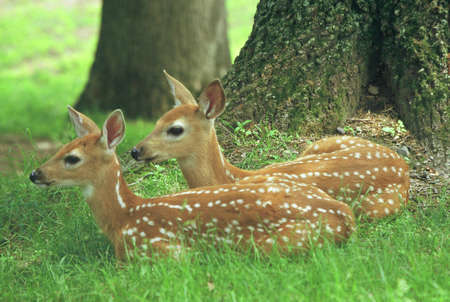 Captivating spring closeup of two spotted whitetail deer fawns, laying down together in a shaded woodland opening habitat.