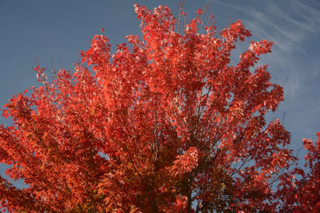 Vibrant vista on maple tree foliage in peak autumn color, against a blue sky background.