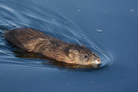 Striking seasonal closeup of a North American muskrat swimming thru a tranquil pond environment. Standard-Bild