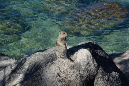 Sunny capture of a Douglas squirrel standing atop a large rock in Lake Tahoe Nevada State Park.