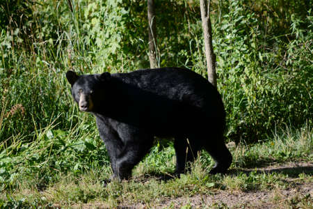 Bright summer capture of a young black bear roaming thru a forest clearing.