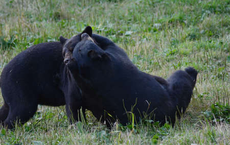 Summer capture of two North American black bears, tussling together in a short grass meadow.