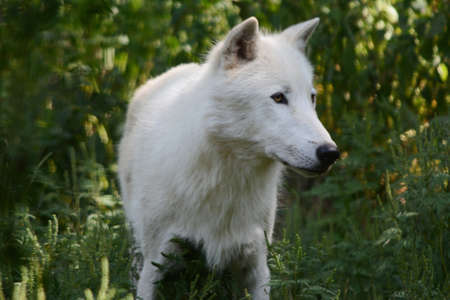 Shaded summer portrait of a white arctic wolf, standing still in an upland forest habitat. Standard-Bild