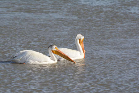 Bright spring capture of white pelican pair swimming a waterway in the Bear River Migratory Bird Refuge, northern Utah. Standard-Bild